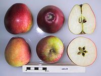 Cross section of Smiler, National Fruit Collection (acc. 1935-001).jpg