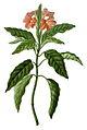 Crossandra infundibuliformis (as C. undulaefolia) (Paradisus Londinensis 12).jpg