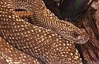 Crotalus durissus vegrandis uracoan klapperschlange.jpg