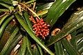 Cryptanthus bivittatus 4zz.jpg