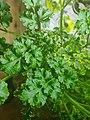 Curly parsley in hydroponic garden.jpg