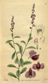 Curtis's Botanical Magazine, Plate 3122 (Volume 58, 1831).png
