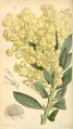 Curtis's Botanical Magazine, Plate 4306 (Volume 73, 1847).png