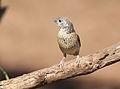 Cut-throat finch, Amadina fasciata at Mapungubwe National Park, Limpopo, South Africa (album includes copulating pair) (17246346233).jpg