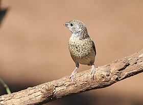 Cut-throat finch, Amadina fasciata at Mapungubwe National Park, Limpopo, South Africa (album includes copulating pair) (17246346233).jpg