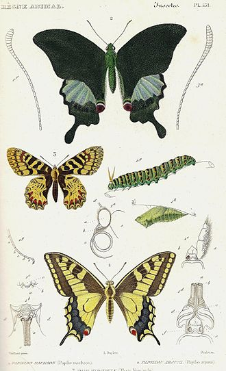 Le Règne Animal - Butterflies from the 1828 edition