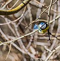 Cyanistes caeruleus in Rodez 07.jpg