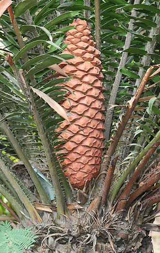 Cycad - Leaves and cone of Encephalartos sclavoi