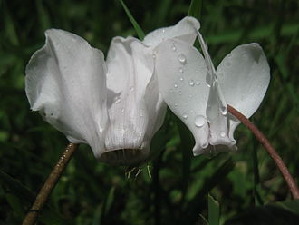 Auricle (botany) - Two species of cyclamen: without auricle (left); with auricles at bases of petals (right)