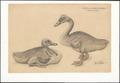 Cygnus cygnus - 1910 - Print - Iconographia Zoologica - Special Collections University of Amsterdam - UBA01 IZAA100082.tif