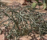 Cylindropuntia arbuscula 1.jpg