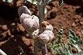 Cymopterus multinervatus - Flickr - aspidoscelis (1).jpg