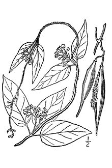 Cynanchum louiseae illustration.jpg