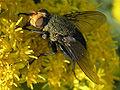 Cynomya mortuorum (male) - FrontSide.jpg