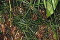 Cyperus alternifolius 4zz.jpg
