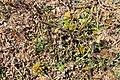 Cyperus volckmannii Phil. (31447352048).jpg