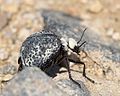 Cysteodemus armatus - Inflated Beetle Mojave desert 2016-04-05 (2).jpg