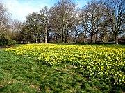 Daffodils in Cassiobury Park