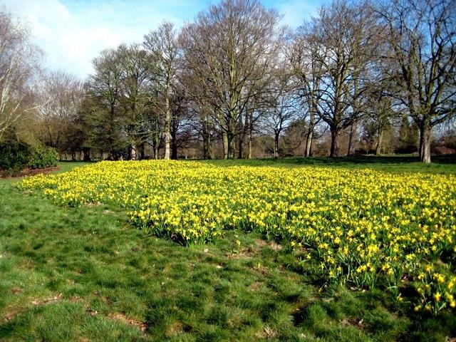 Daffodils, Cassiobury Park, Watford