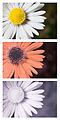 Daisy flower Bellis perennis Spectral Comparison Vis UV IR.jpg
