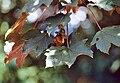 Daniel Fuchs.CC-BY-SA.Acer pseudoplatanus leaves.jpg