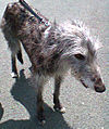 Deerhound001.jpg