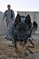 Defense.gov News Photo 100725-F-6188A-027 - Ali a U.S. Air Force military working dog runs to the next obstacle on a training course at Asad Air Base Iraq on July 25 2010. The obstacle.jpg