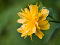 Delicate yellow flower (14146931038).jpg