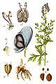 Delphinium napellus Sturm38.jpg