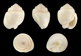 <i>Demoulia obtusata</i> Species of gastropod
