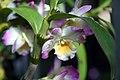 Dendrobium Angel Smile Kibi 6zz.jpg