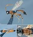 Diadromus collaris.jpg