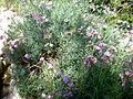 Dianthus rupicola 1c.JPG