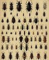 Die exotischen Käfer in Wort und Bild (1908) (20725518920).jpg