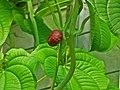 Dioscorea esculenta 002.JPG