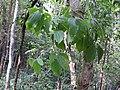 Dioscorea hirsuta-3-kallar-meenmudii-kerala-India.jpg