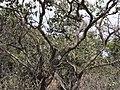 Diospyros montana Roxb. (3641814392).jpg