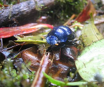 A shiny blue beetle on the ground near Santa Elena, Costa Rica