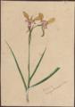 Diuris corymbosa var. by Susan Fereday.png
