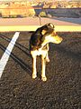 Dog in a parking lot, Canyon de Chelly AZ.jpg