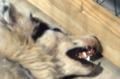Dogwithrabiescloseup2.png