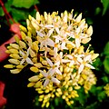 Dogwood blossom - Flickr - Stiller Beobachter.jpg