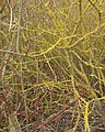 Dogwood bushes with red twigs and yellow lichen - geograph.org.uk - 1173175.jpg