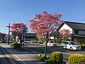 Dogwood in Nagano.jpg