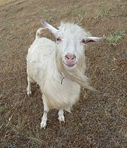 Domestic goat smile 2009 G1.jpg