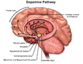 Dopamine Pathway.png