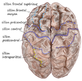 Dorsal-cortex2.png