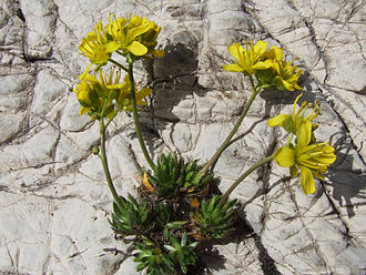 Draba - Image: Draba aizoides a 4