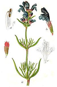 Dracocephalum ruyschiana Sturm29