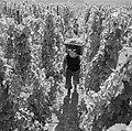 Drager met volle oogstkuip en druivenpluksters, Bestanddeelnr 254-4164.jpg